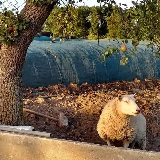 Het schaap en de peer